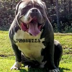 Blue Pitbulls for sale in TN