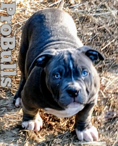 Wisconsin Blue Baby Pitbull Puppies ~ Probulls American Bully XL